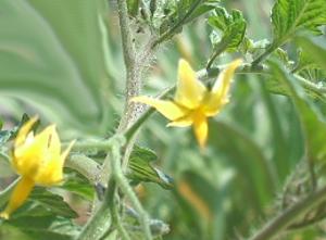 トマトの花☆